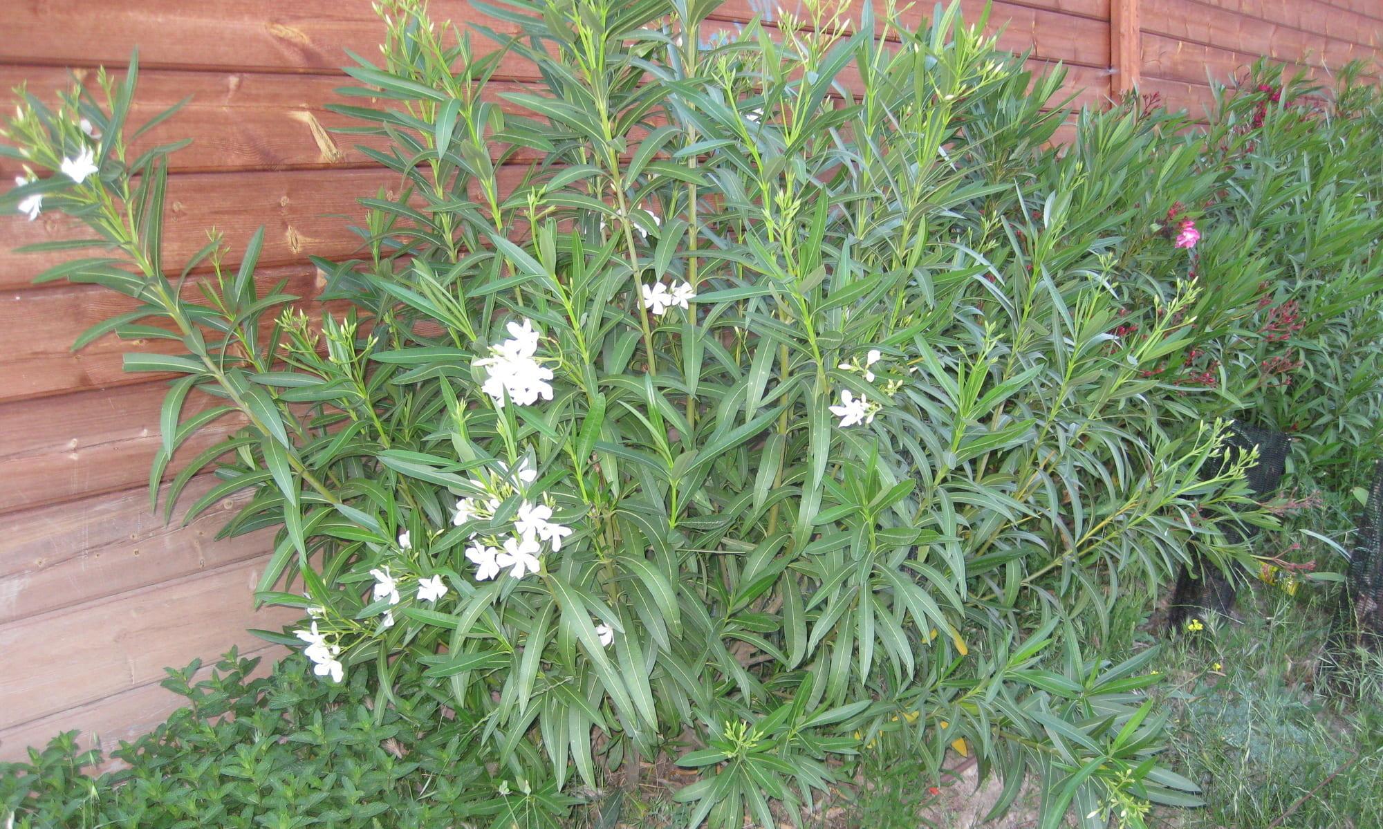 arbustos : adelfas