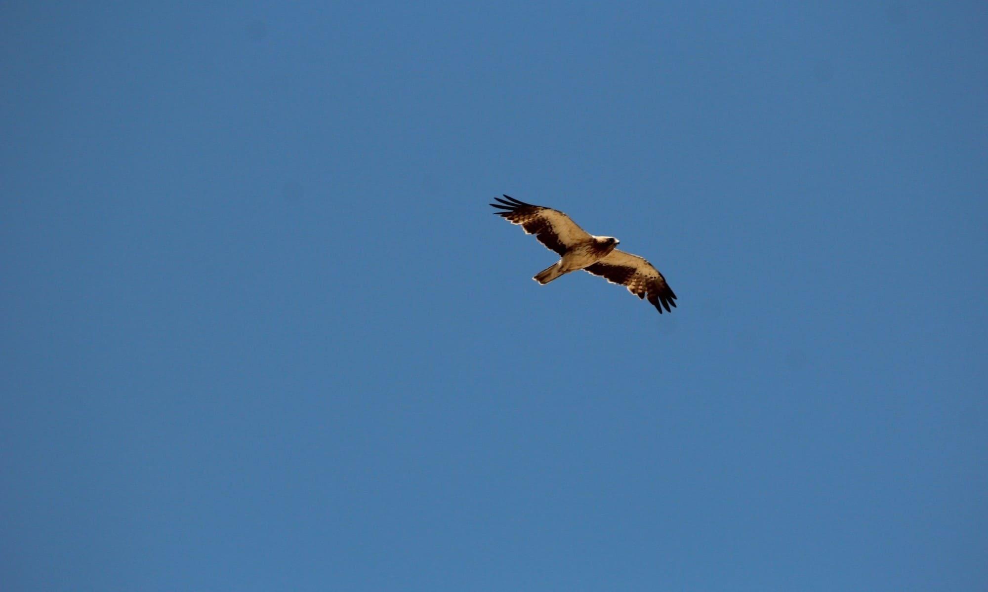 aves: aguila calzada