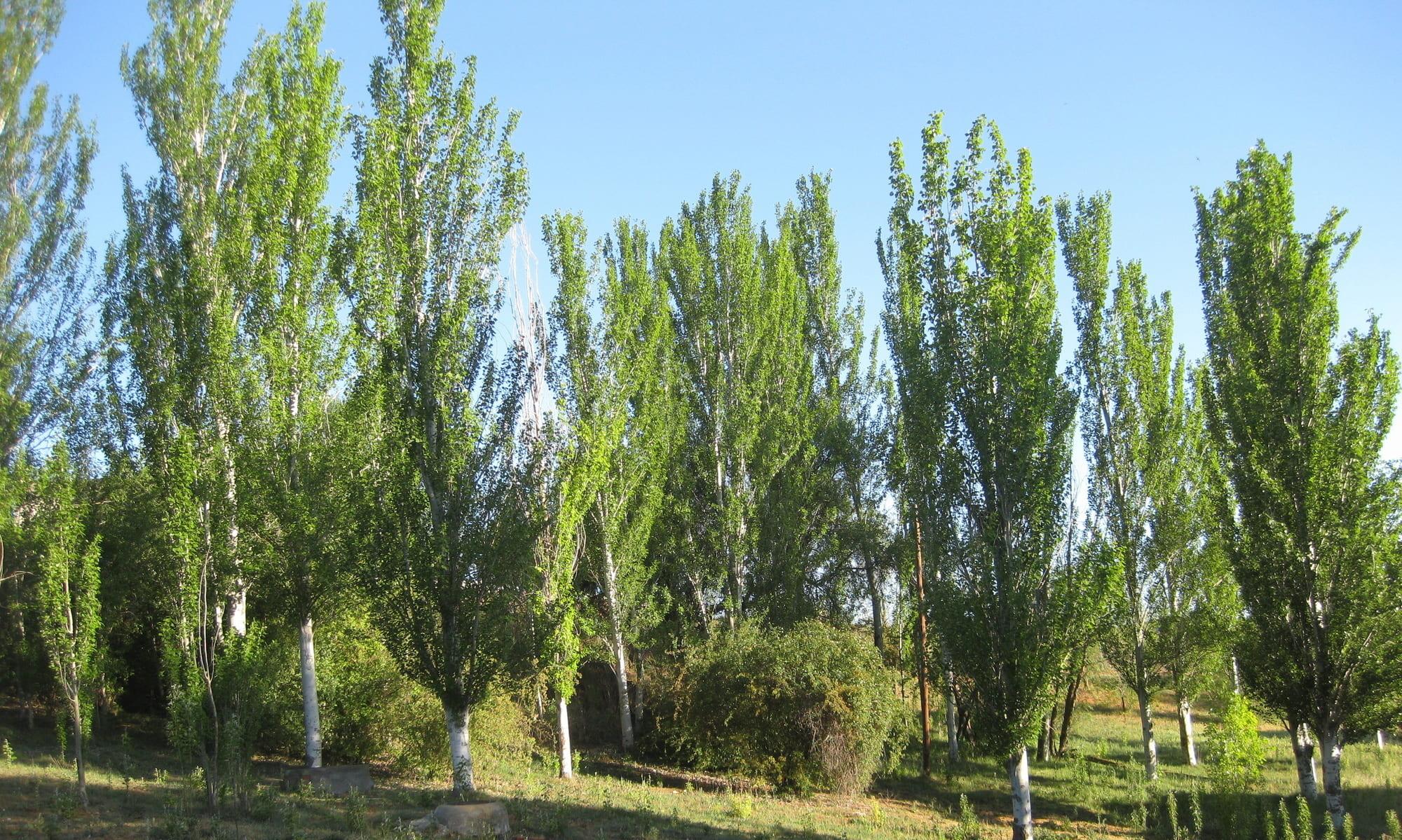 árboles : álamo blanco