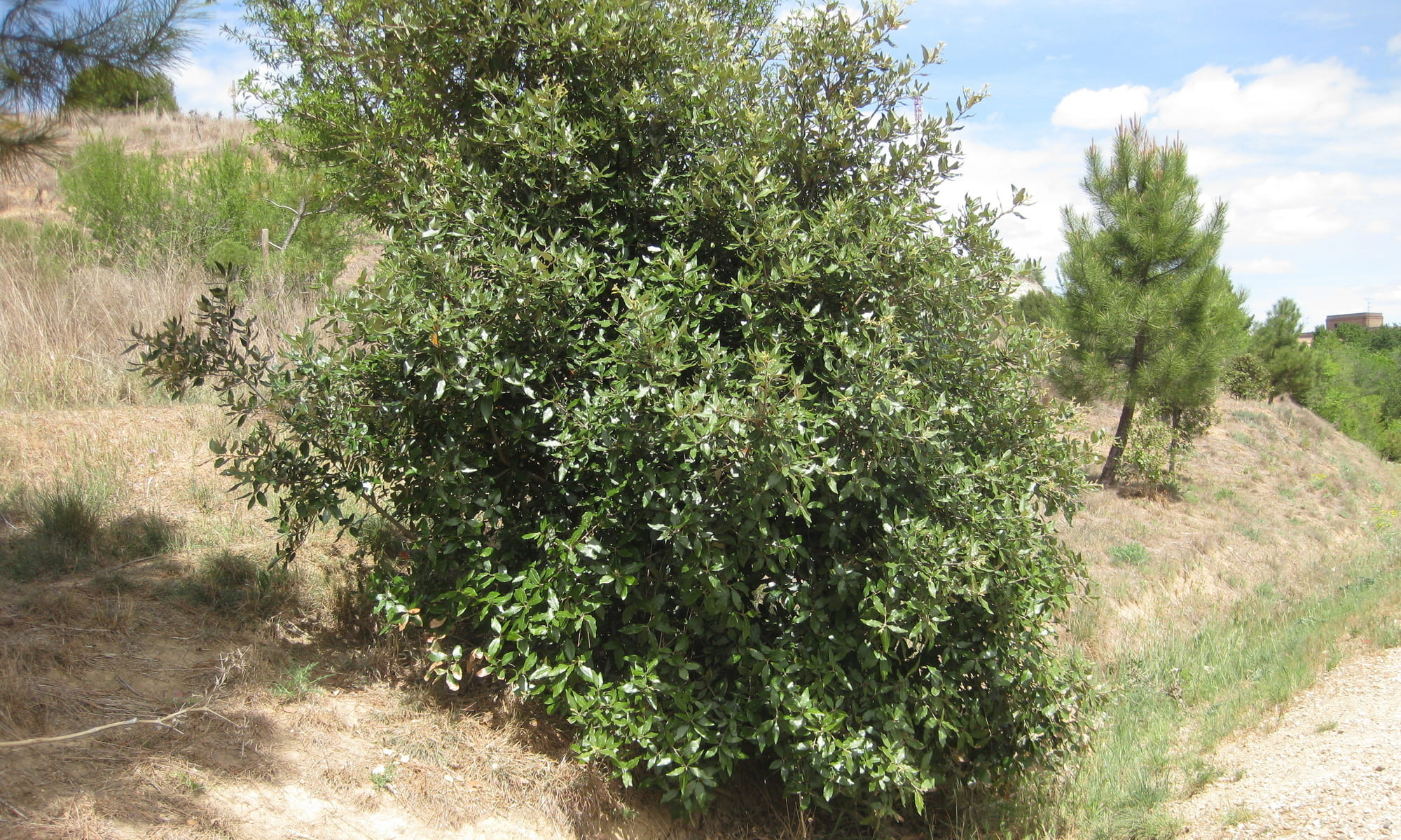arbustos: carrasca