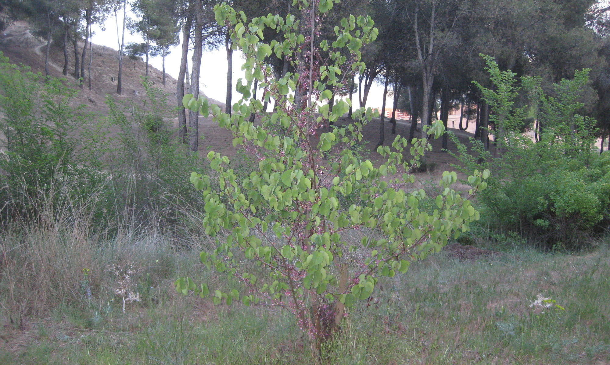 árboles: arbol del amor