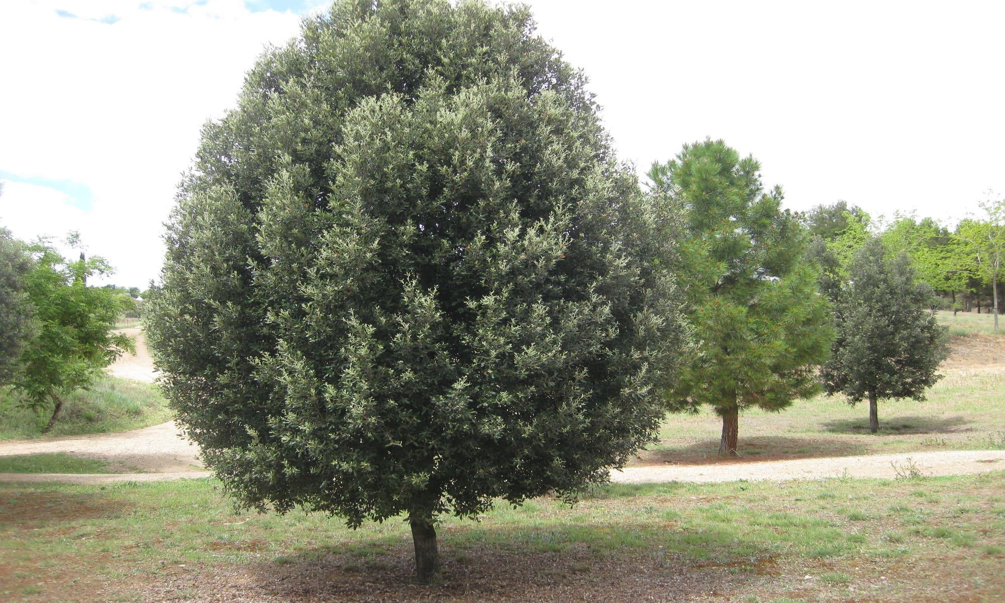 árboles : encina