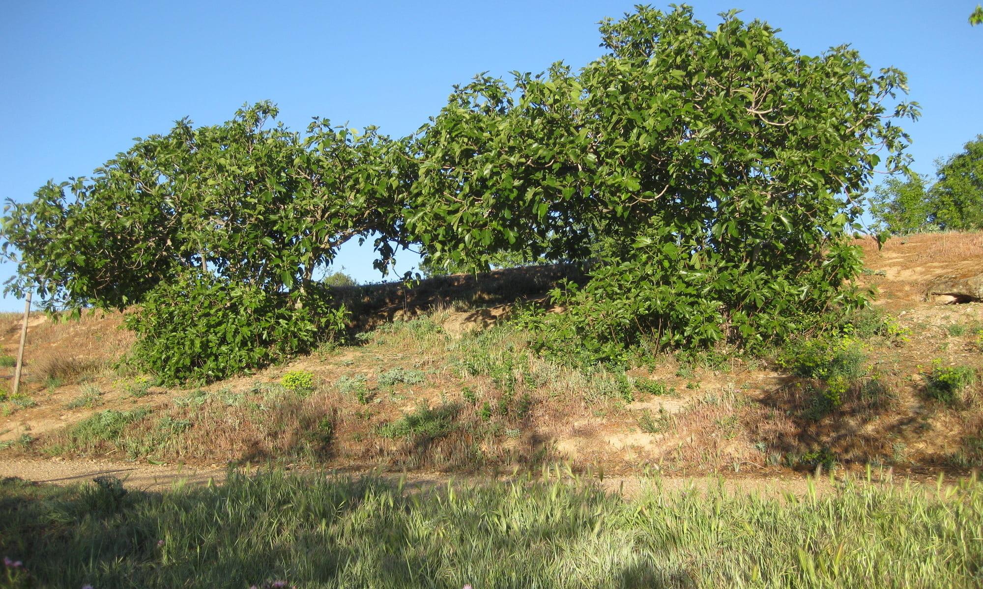árboles: higuera