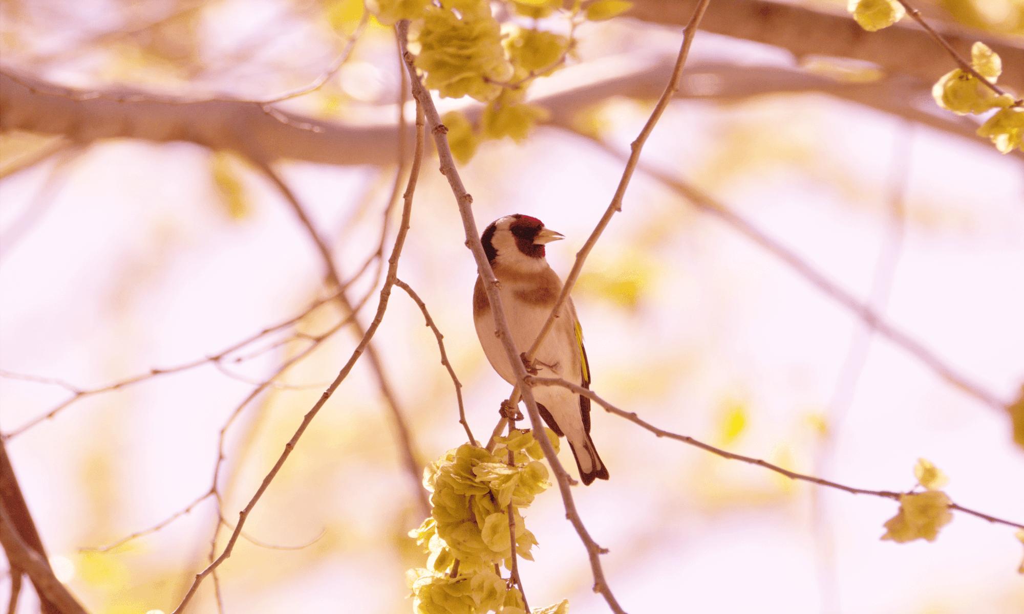aves: jilguero