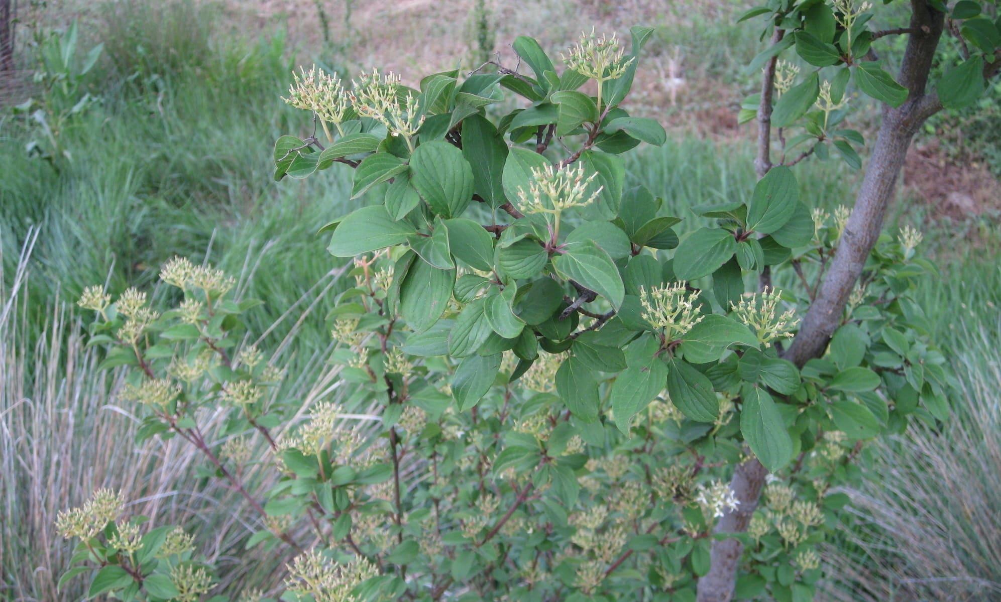 arbustos : lantana