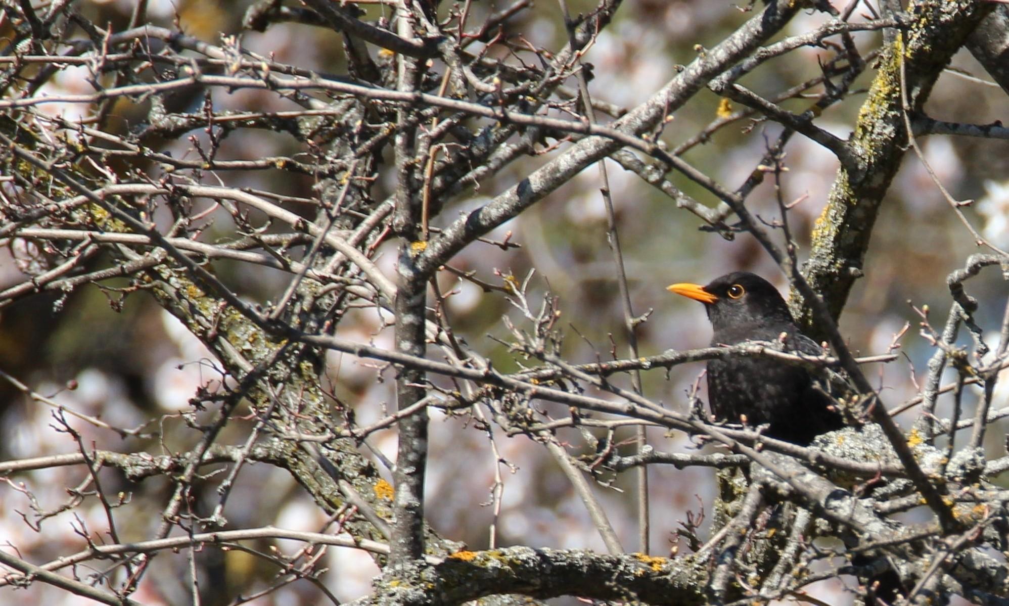 aves: estornino