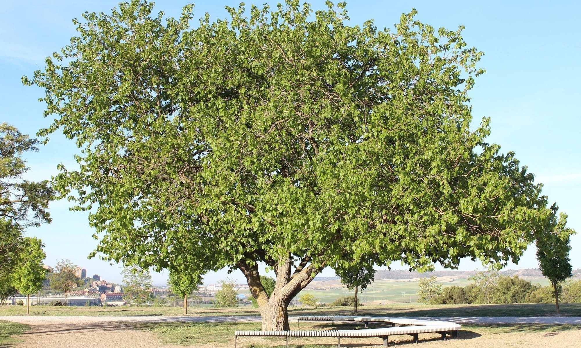 árboles : morera