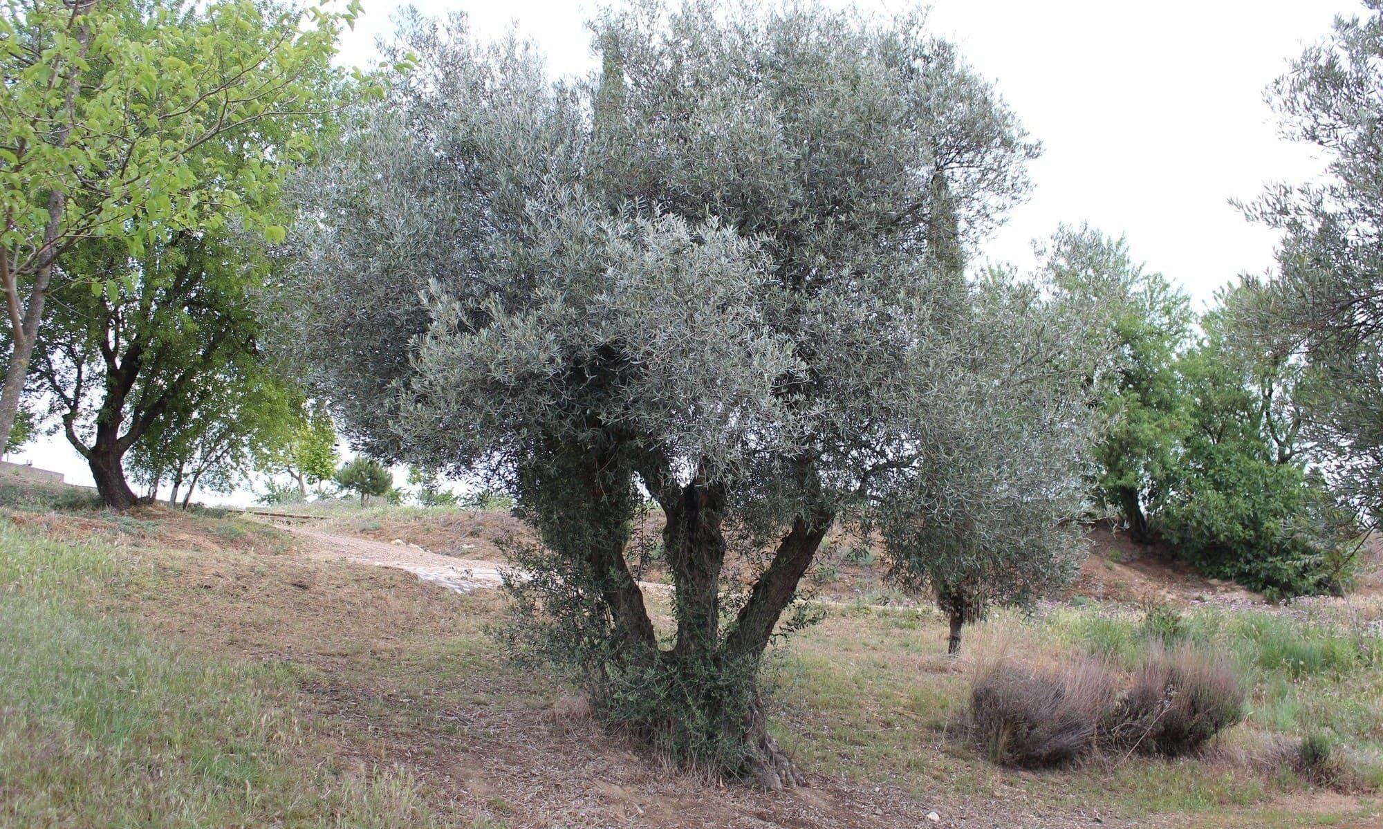 árboles: olivo