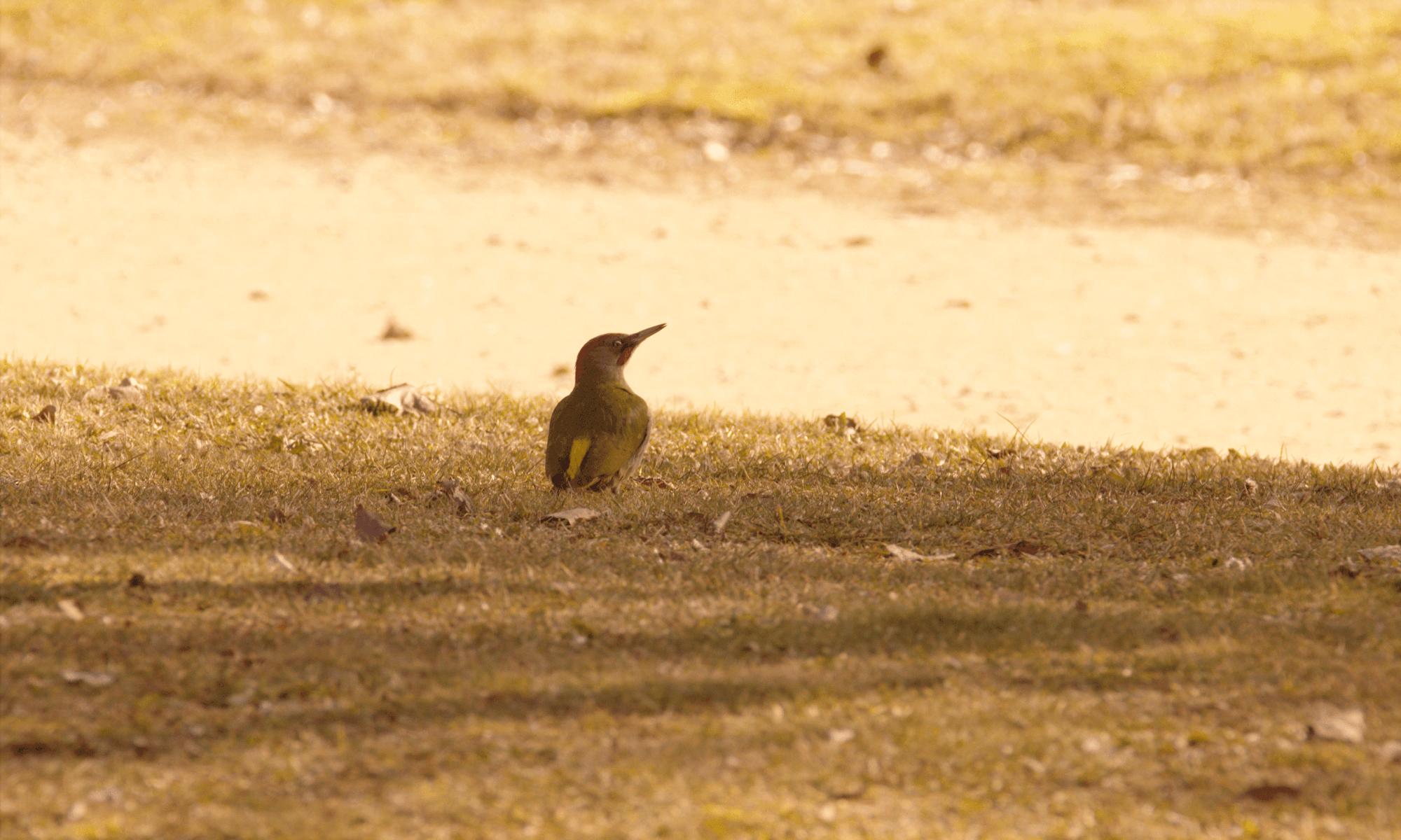aves: pito real