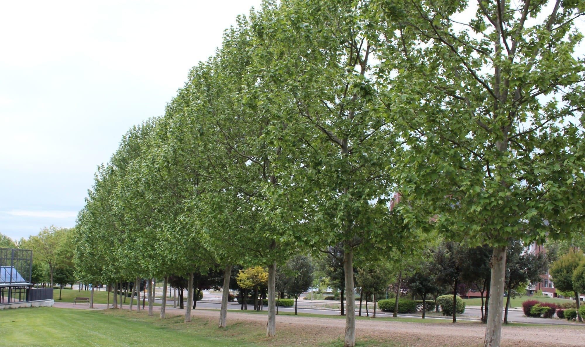 árboles: plátano de sombra