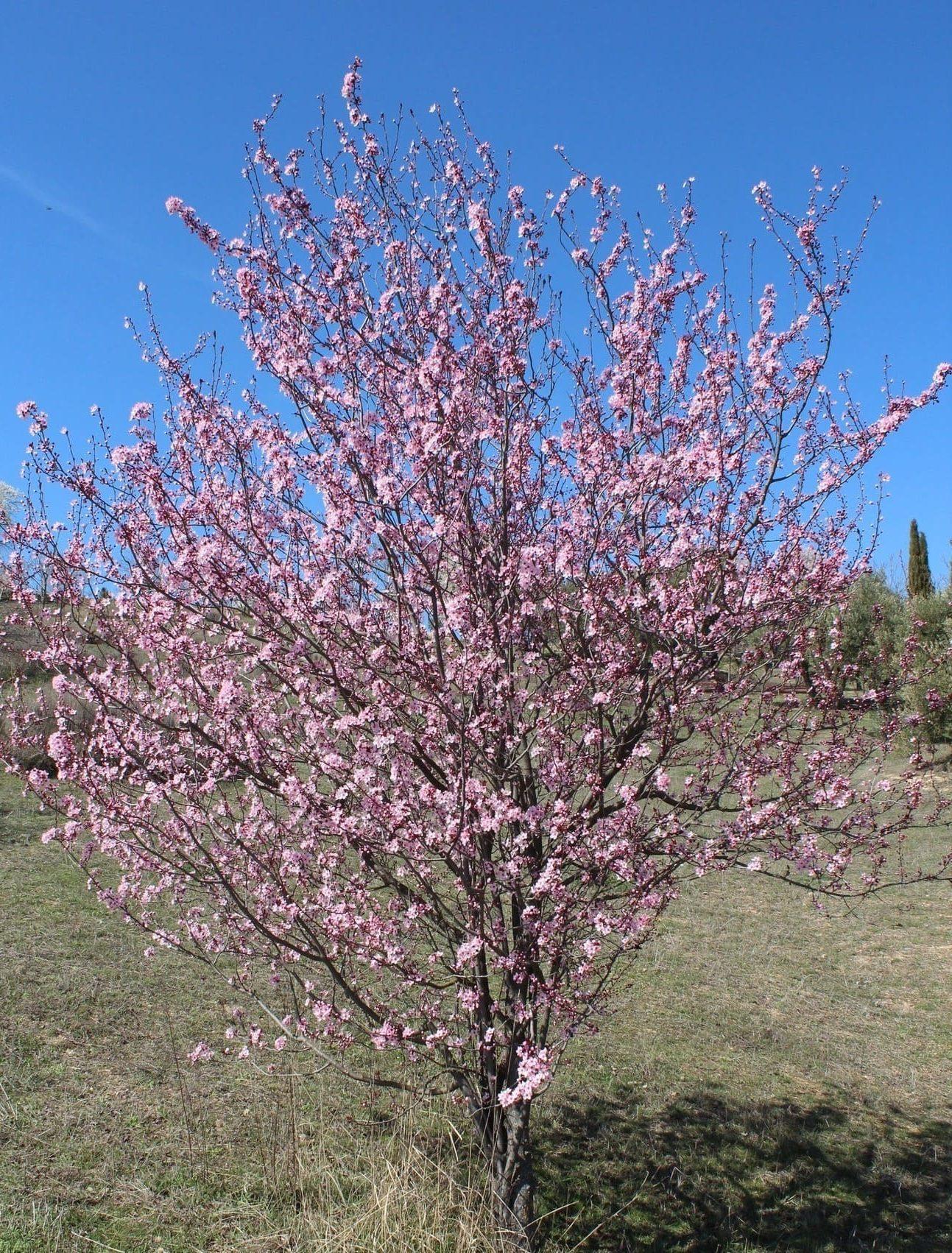 árboles: prunus