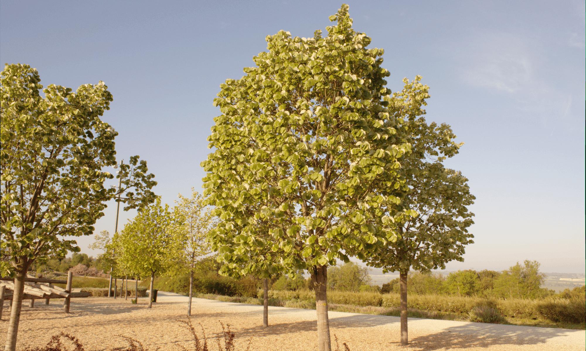 árboles: tilo