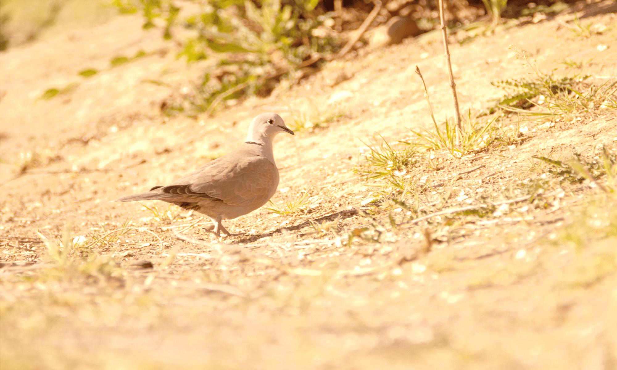 aves: tórtola turca