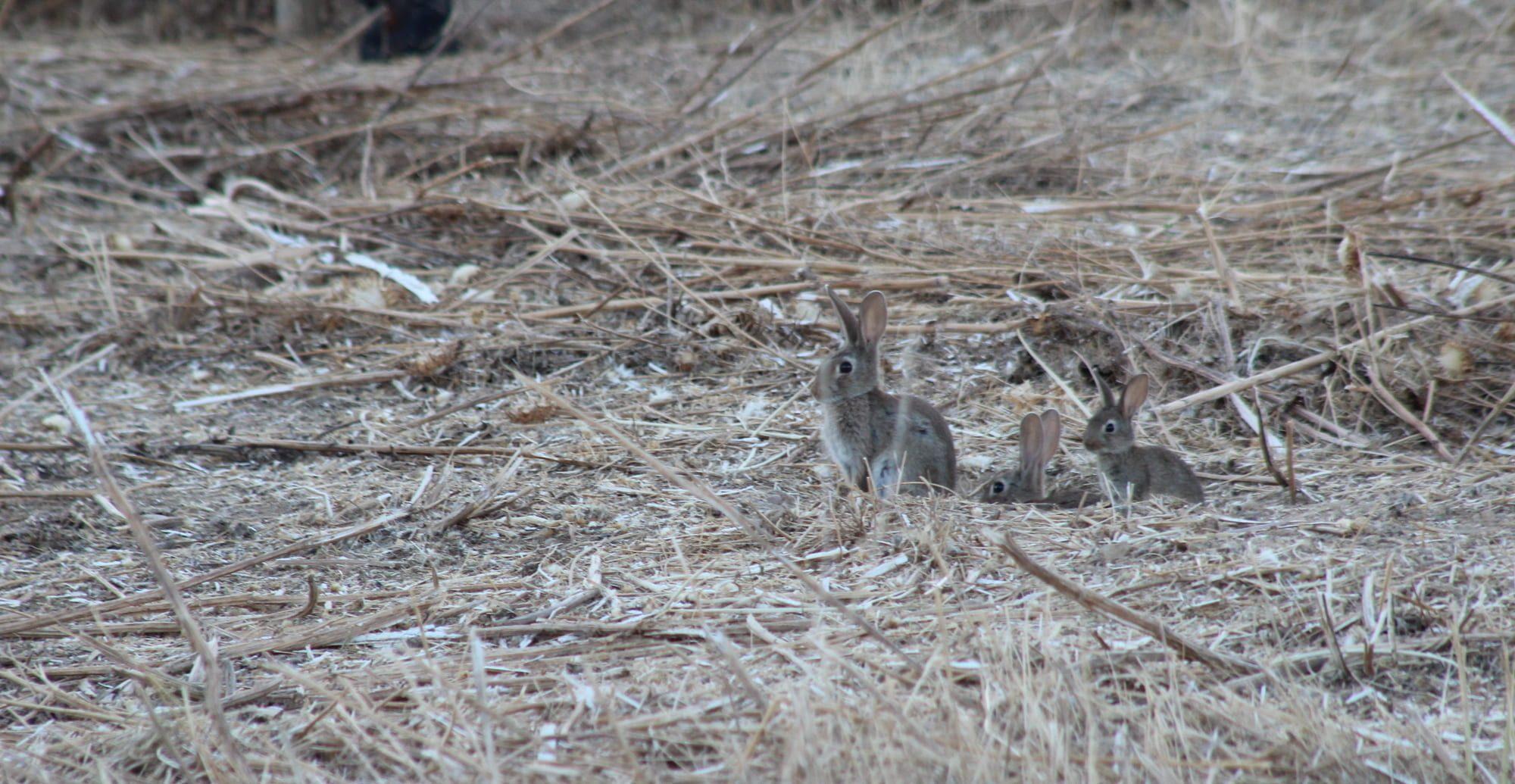 mamíferos . conejos