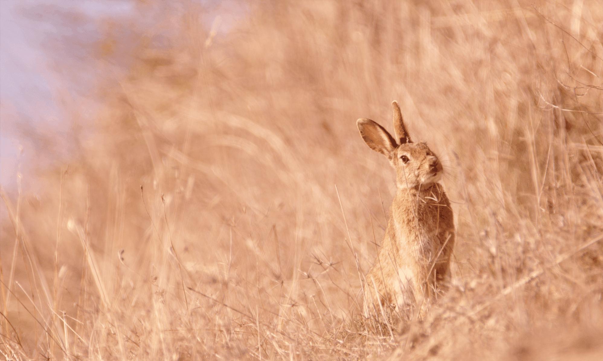 mamíferos: conejo