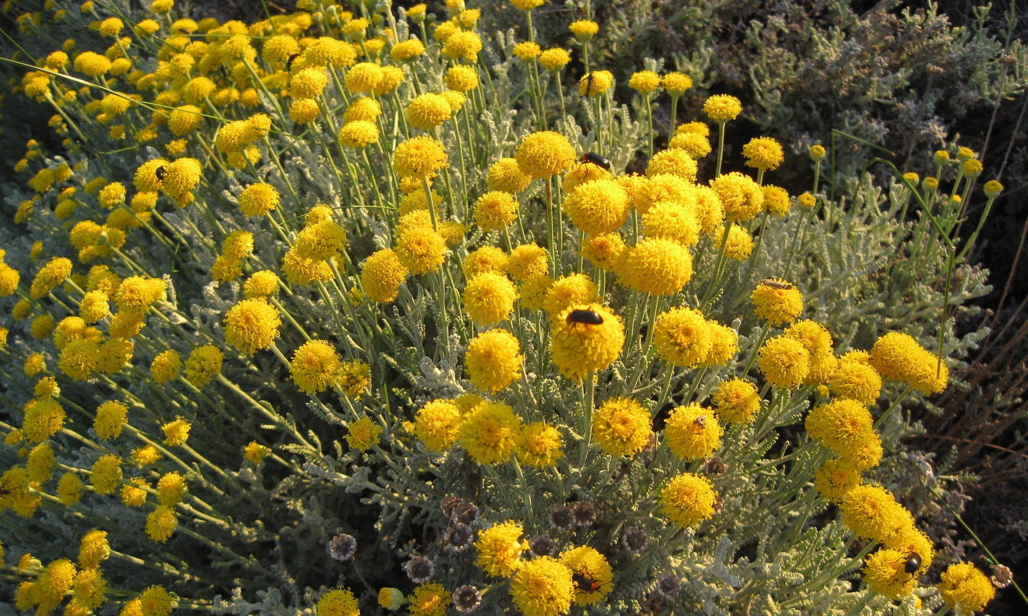 arbustos : manzanilla