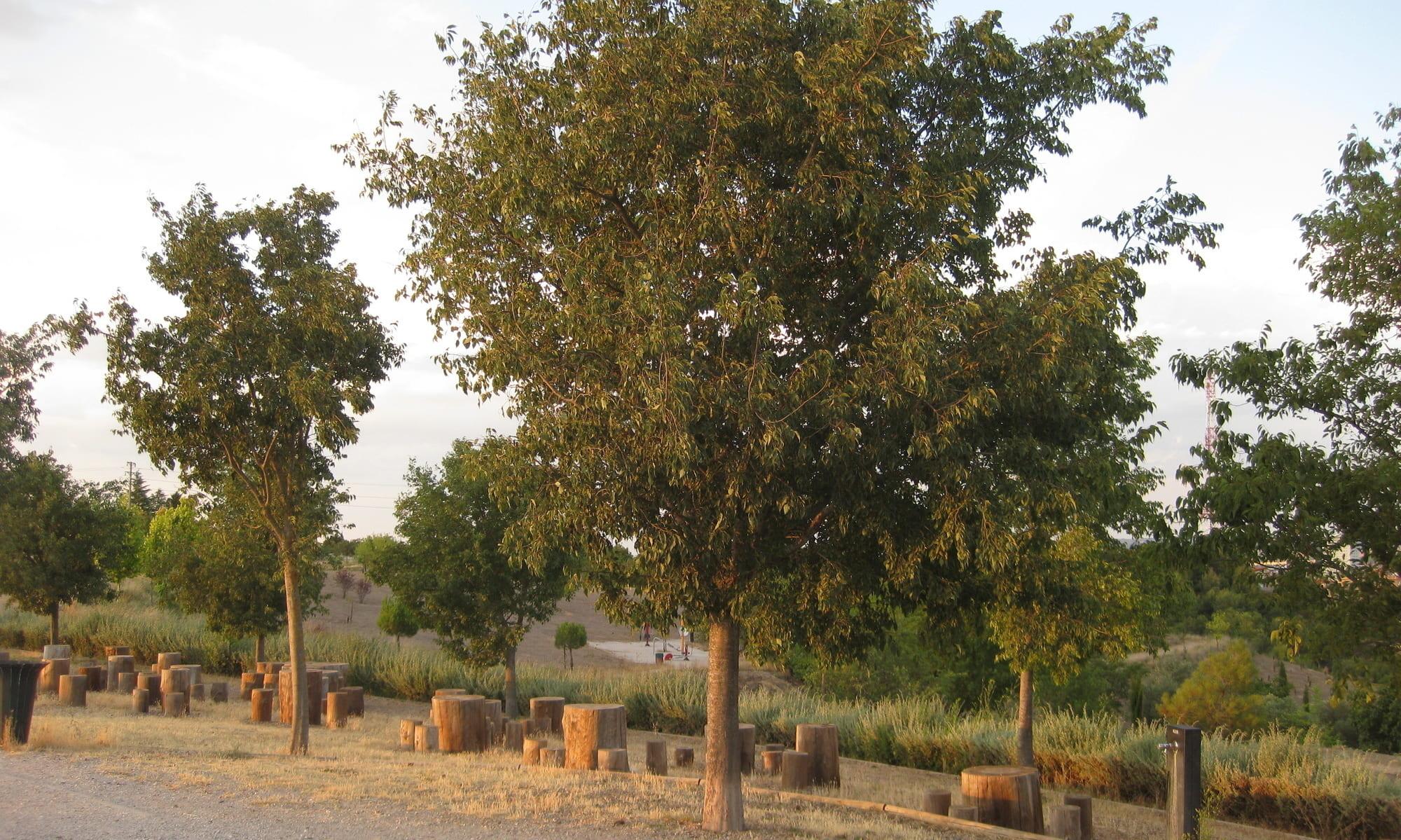árboles : almez