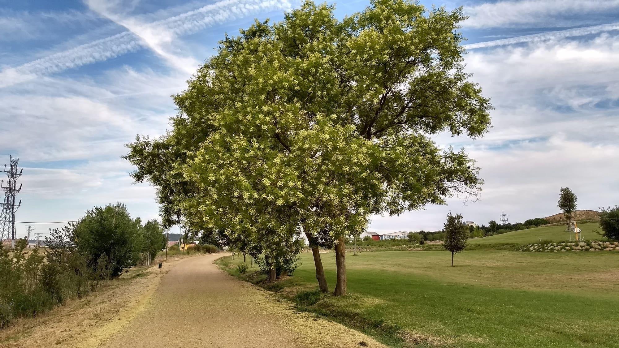 árboles : robinia