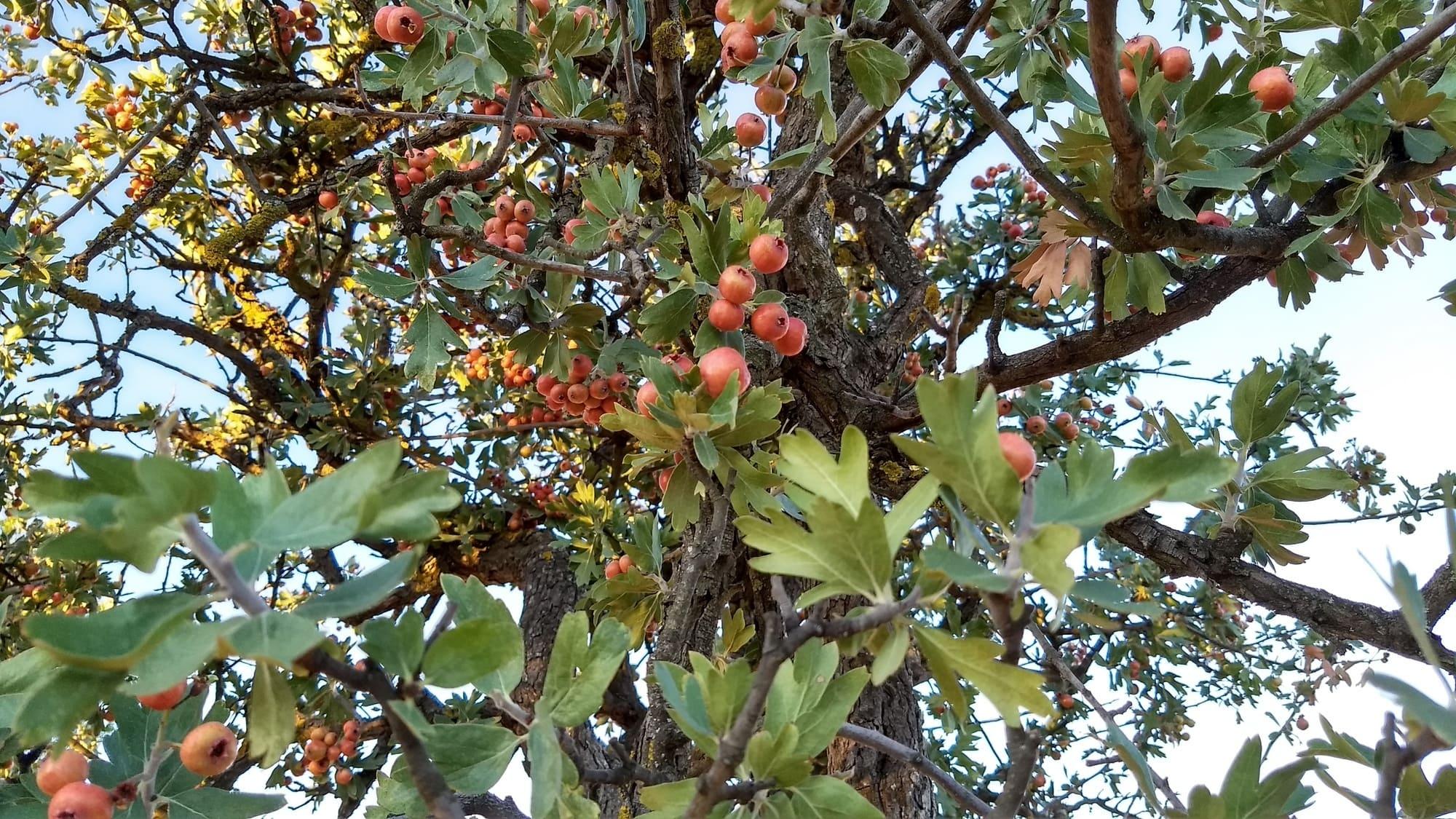 acerolo fruto
