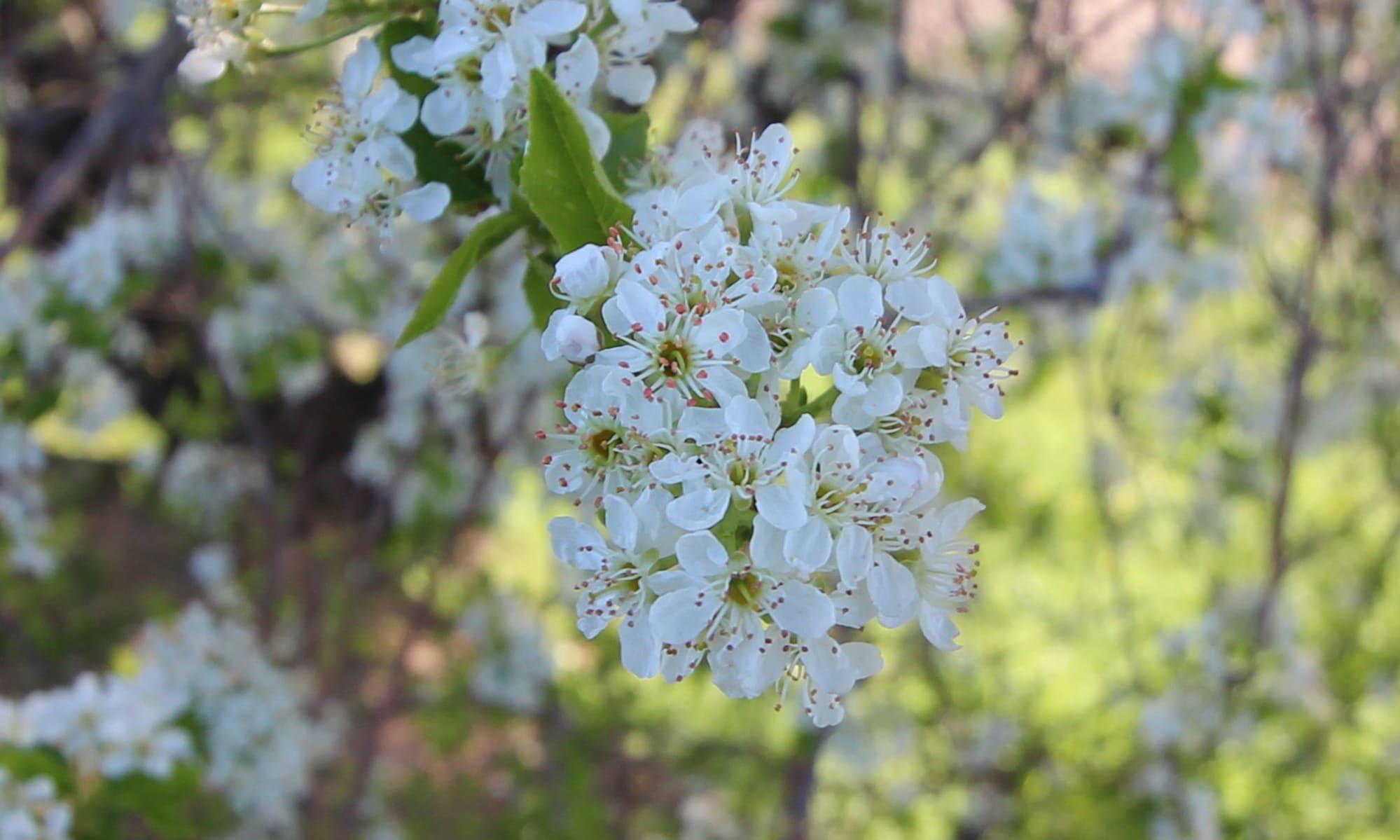 Flor del cerezo de Santa Lucia