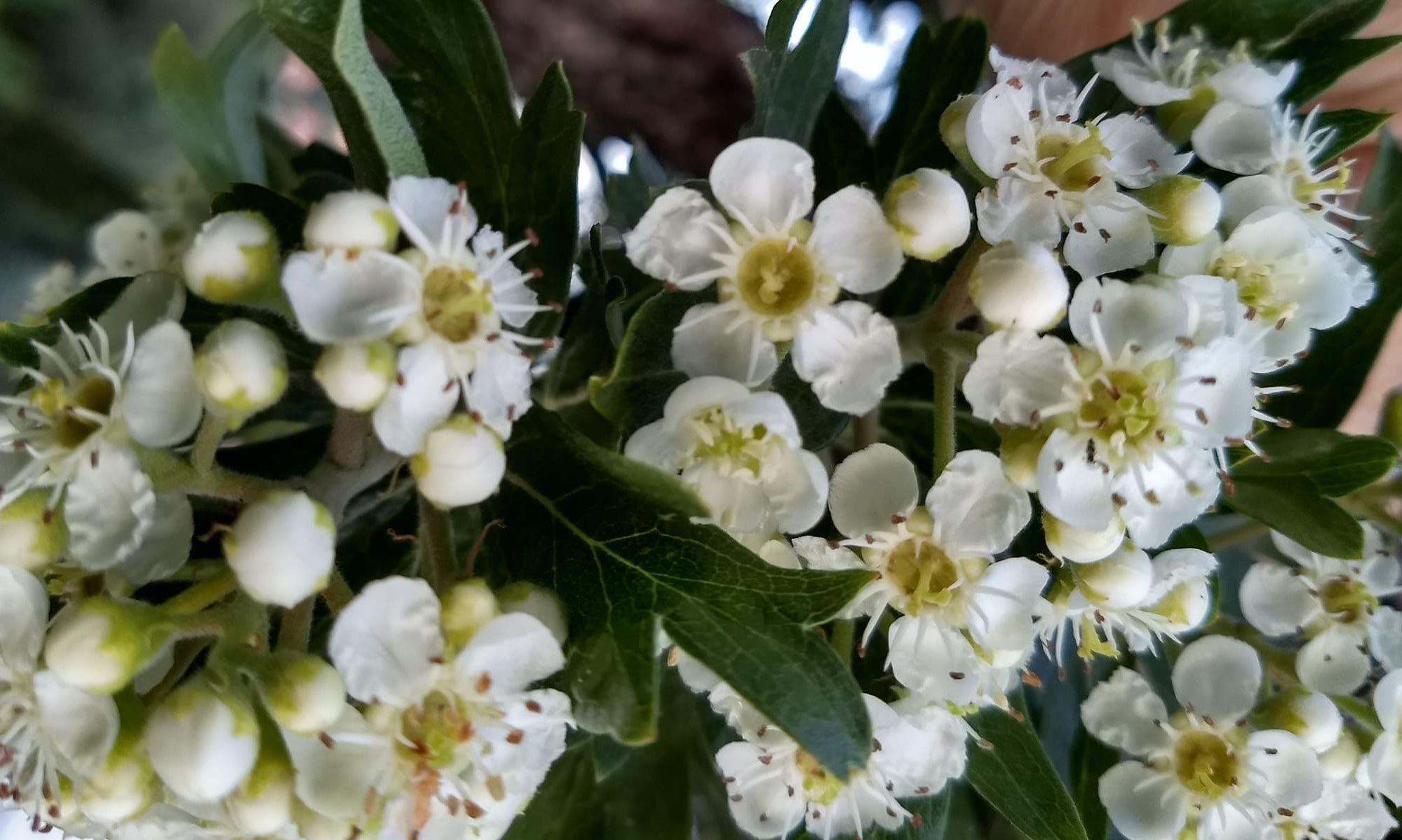 Flores del acerolo