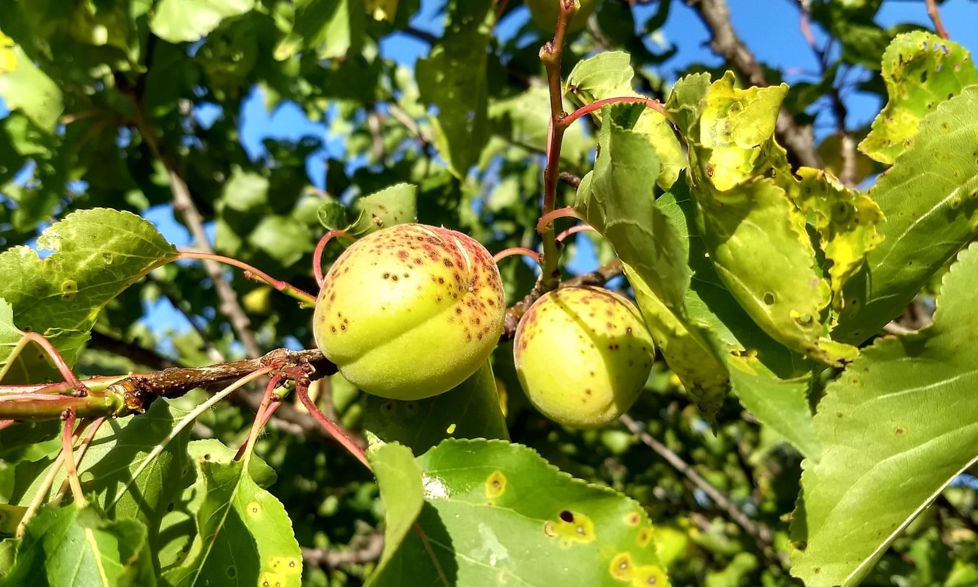 Albaricoque fruto