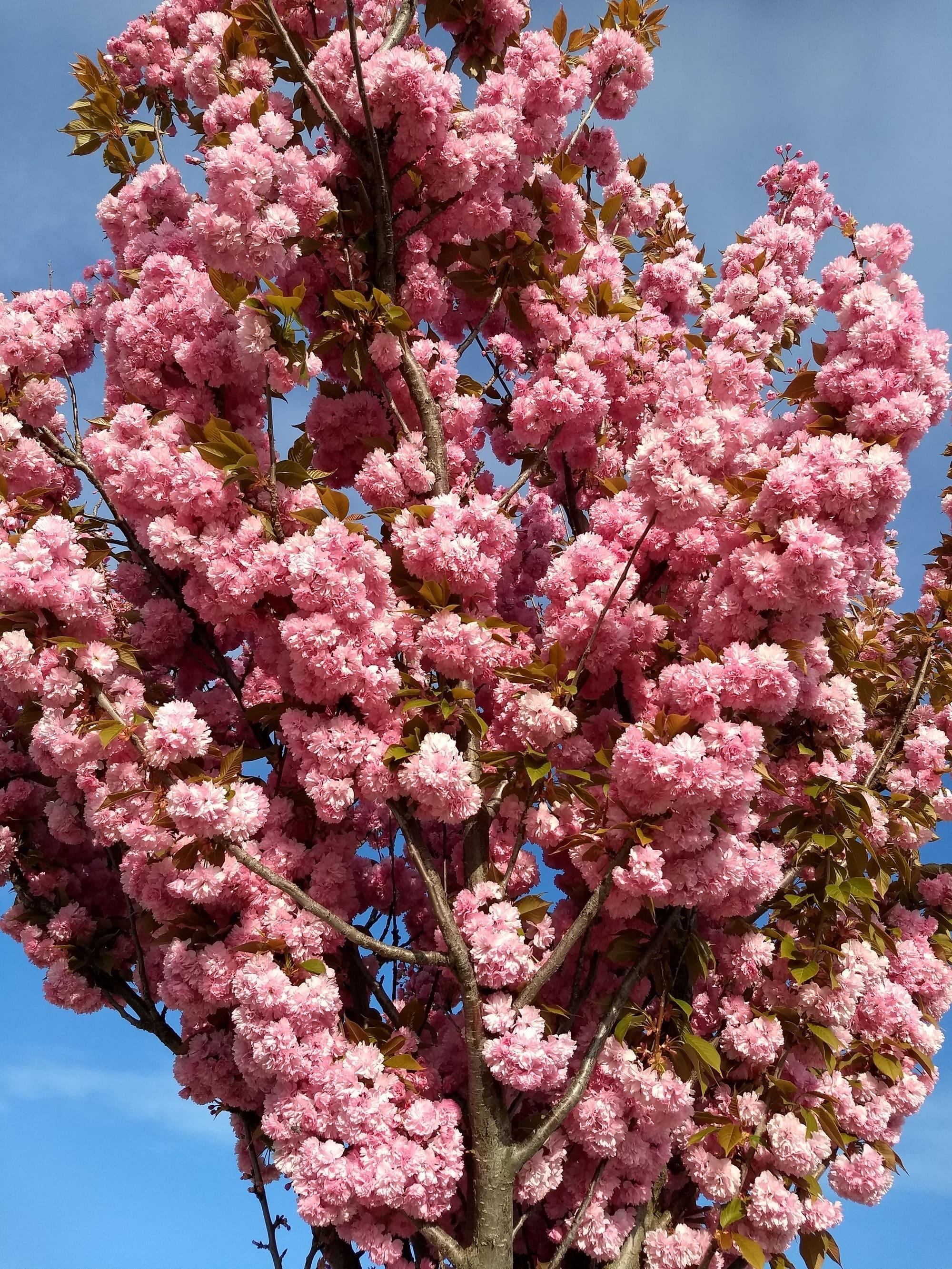 Cerezo de flor japonés