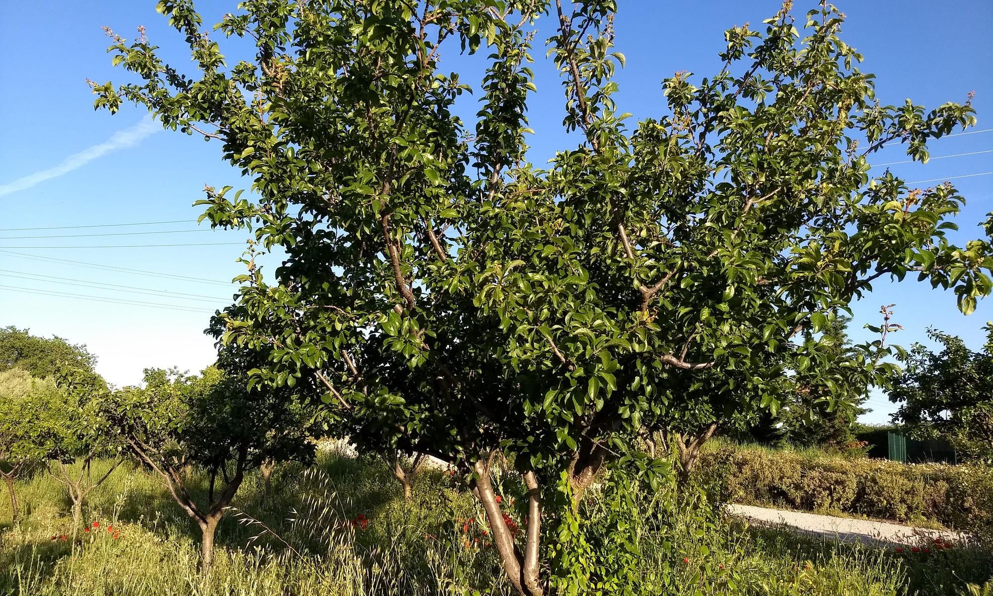 Ciruelo árbol