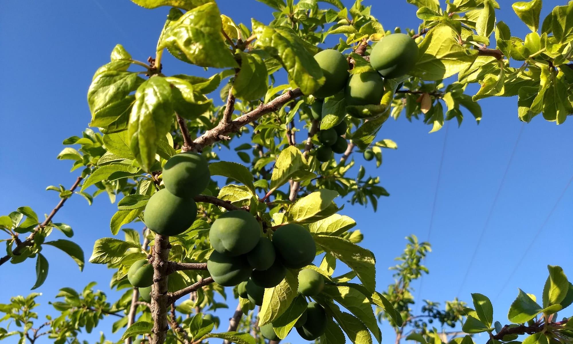Ciruelo fruto