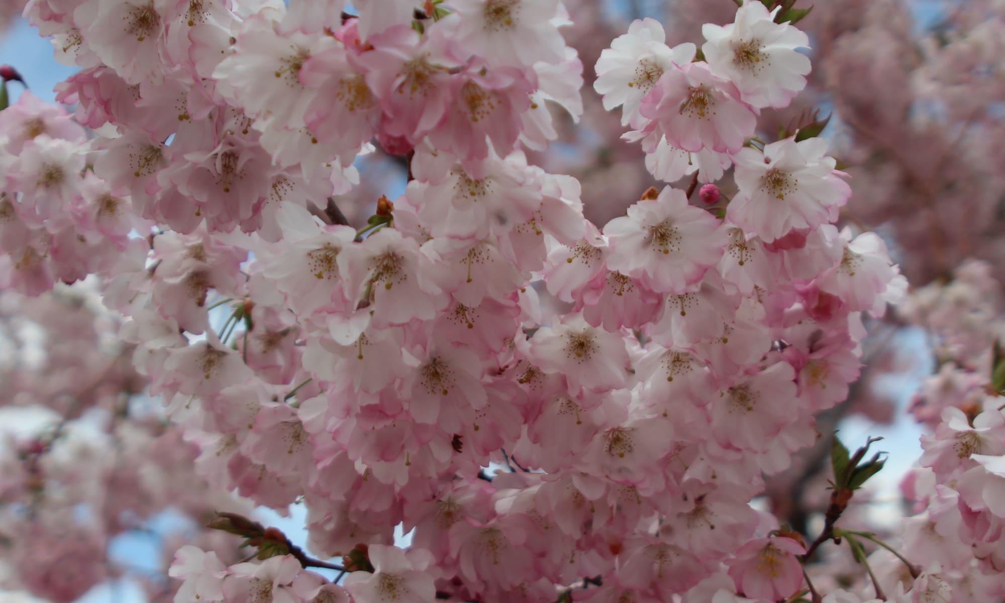 Flor cerezo japones