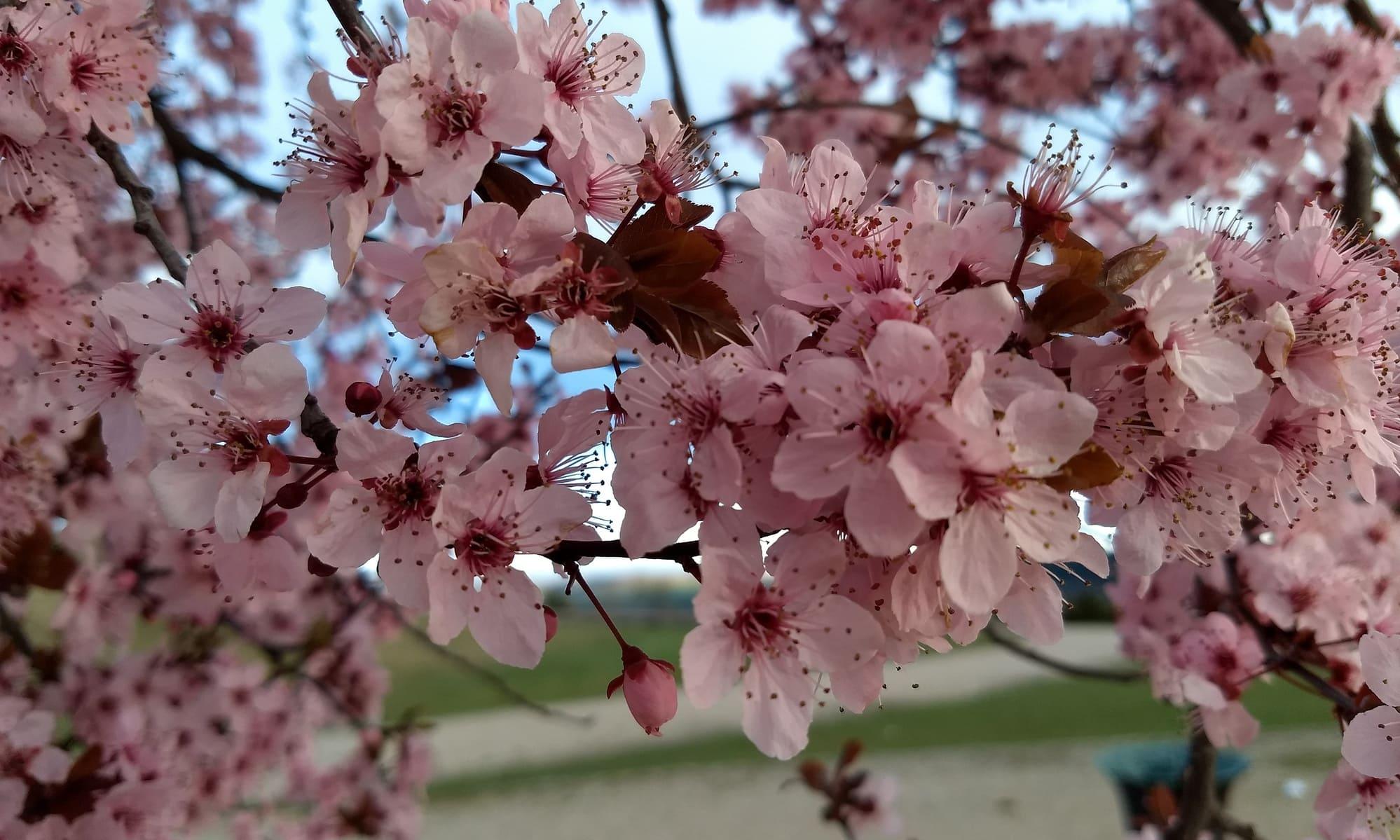 Flor ciruelo de jardín