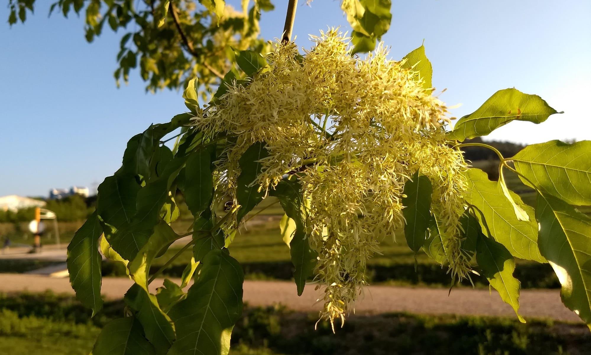 Flor del fresno de flor