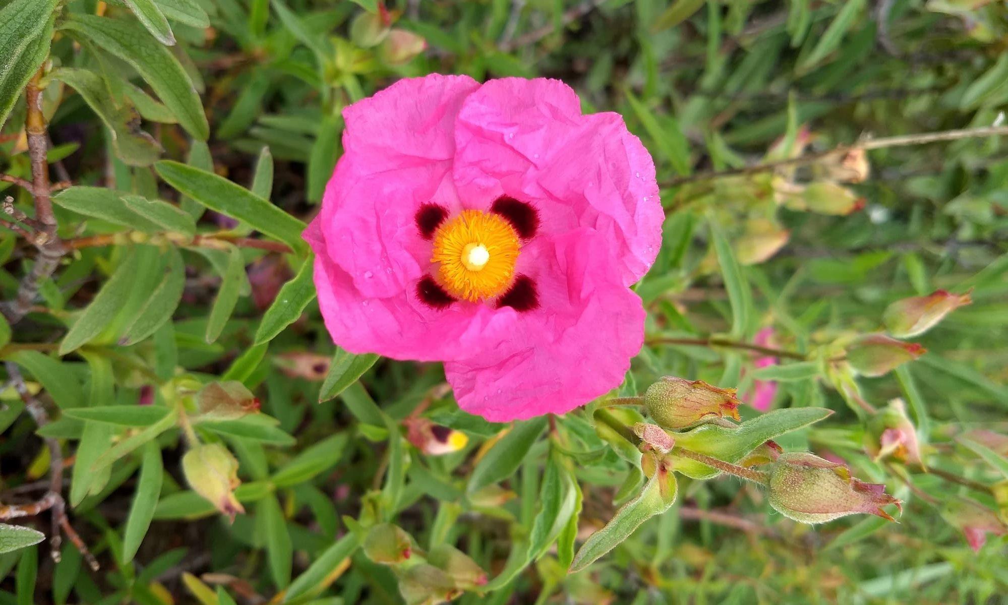 Flor de la Jara purpurea
