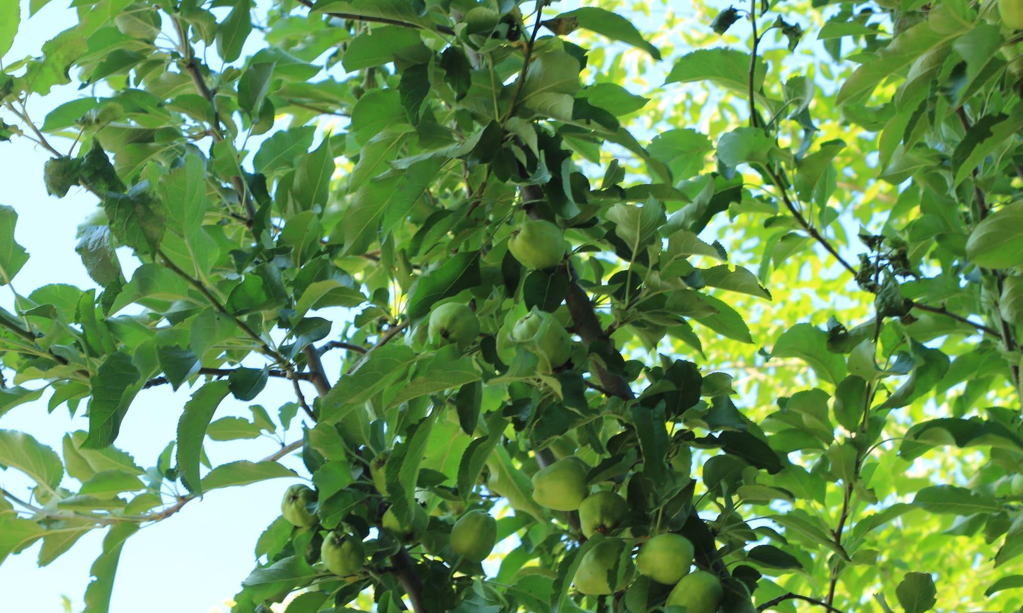 Manzano con fruta