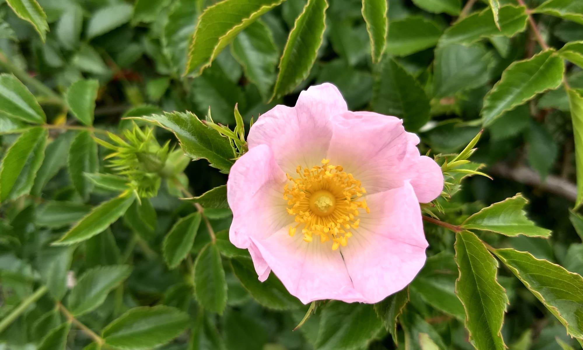 rosa mosqueta rosa