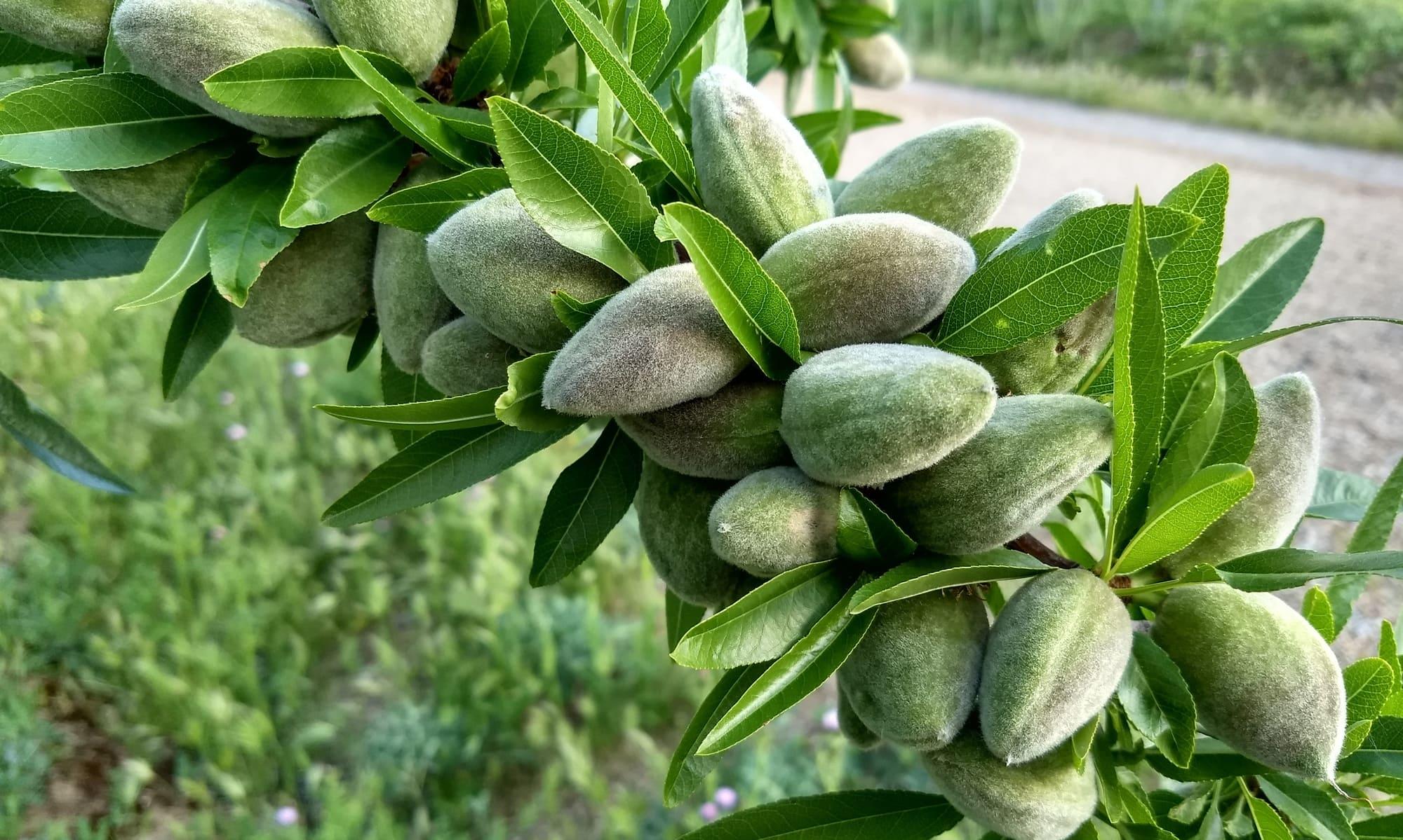fruto del almendro