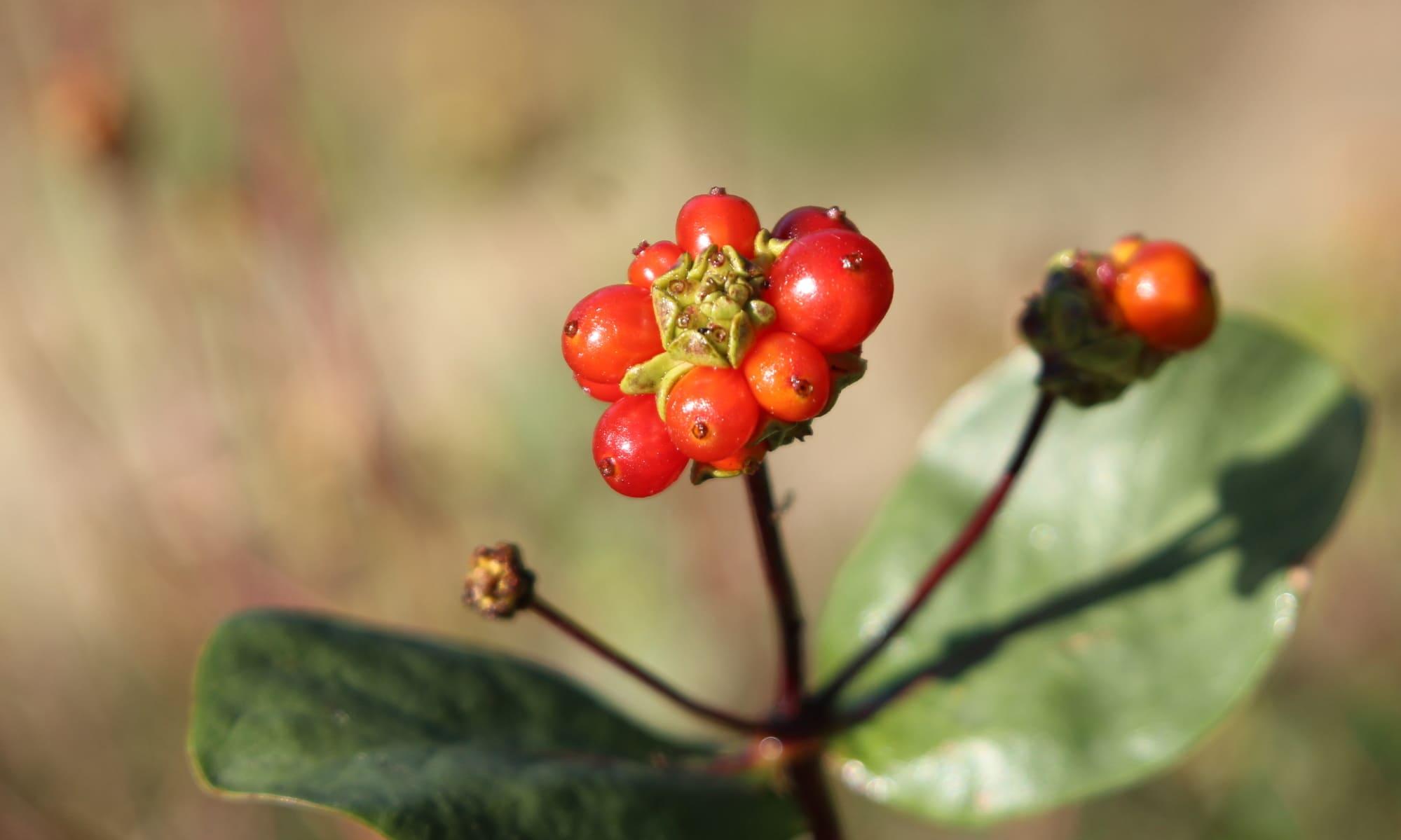 Fruto madreselva de los bosques