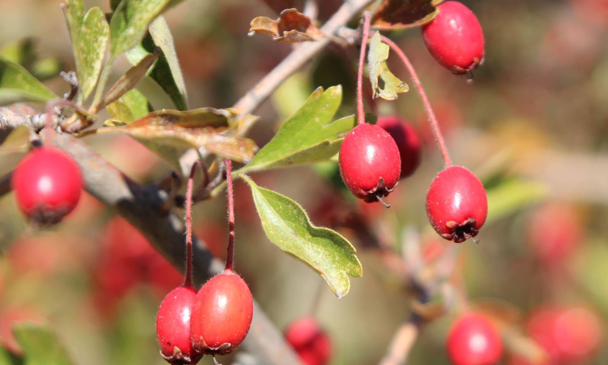 fruto espino albar