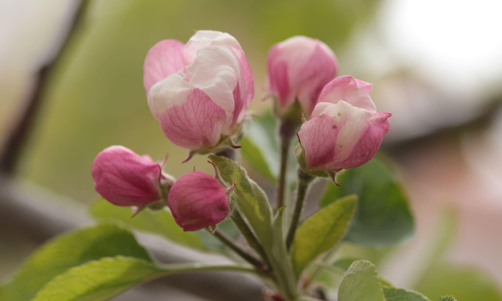 Flores del manzano 1