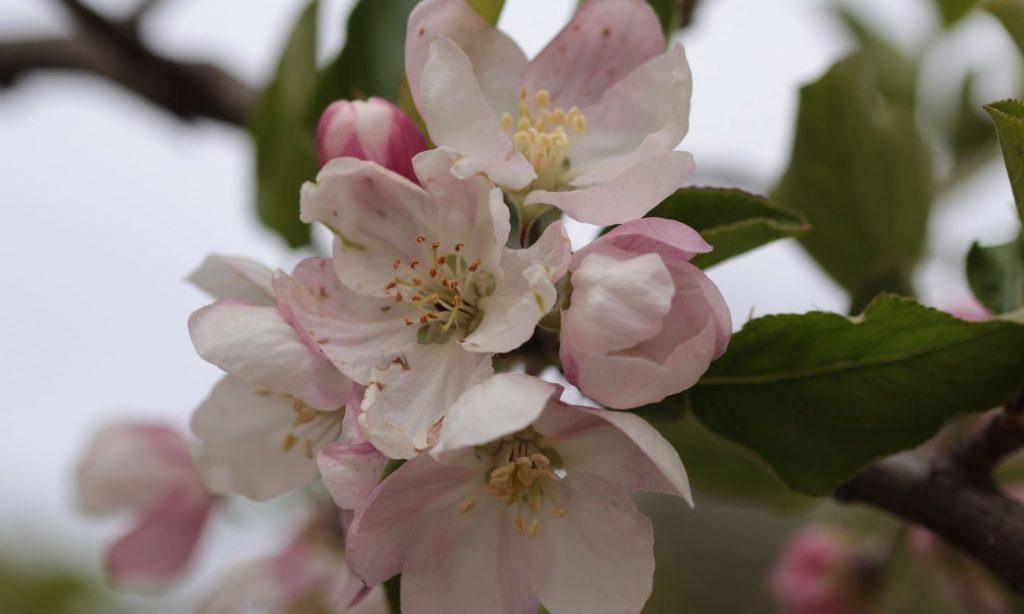 Flores del manzano2