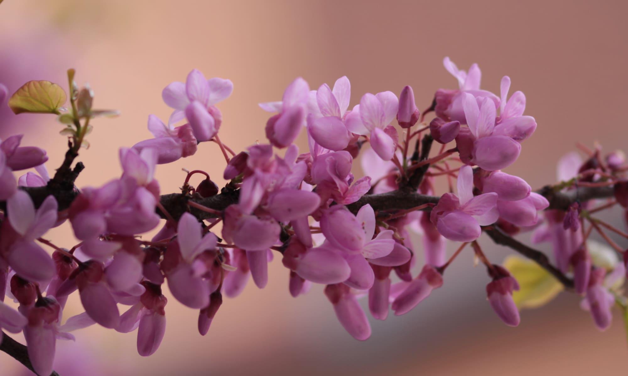 flor del ciclamor